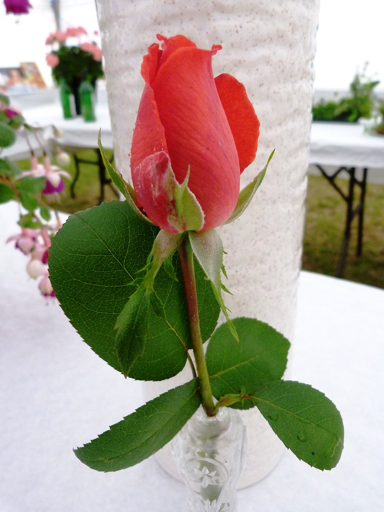Rose in the Flower tent