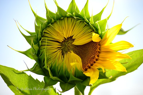 Sunflower-Opens up