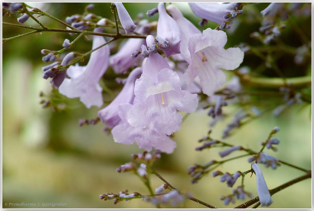 Blossoming tree in Crete 2