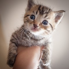 nose, animal, kitten, tabby cat, small to medium-sized cats, pet, european shorthair, pixie-bob, siberian, american shorthair, close-up, cat, carnivoran, whiskers, domestic short-haired cat,