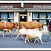 Swiss Cattle Procession in Brienz - 1994 by sjb4photos