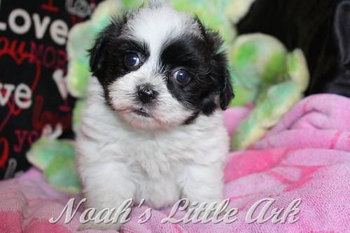 Sold Puppies in Delaware   Noah's Little Ark