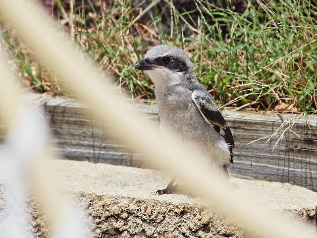 Loggerhead Shrike juvenile thru window 20140601