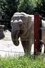 asian elephant IMG_5940