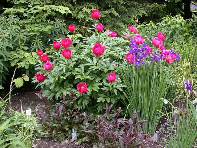 Peonies and iris