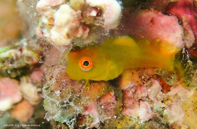 いつ見てもカワイイ、インドカエルウオ幼魚