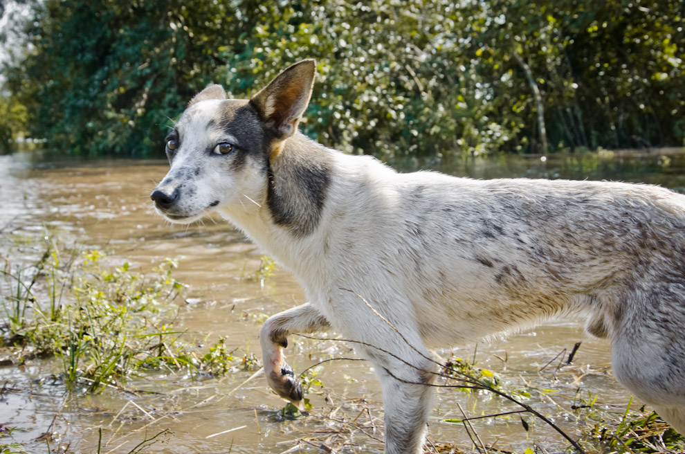 Un perro nos mira desconfiado mientras se mete a las aguas del Río Jejuí, que alcanzó más de 400 metros desde su costa habitual. En Puerto La Niña, departamento de San Pedro. (Elton Núñez)