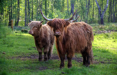 Extensive Bewirtschaftung mit Schottischen Hochlandrindern