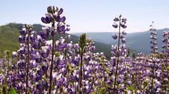 flower, purple, nature, lilac, lavender, wildflower, flora, bluebonnet,
