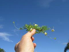 Cotula turbinata plant NC4