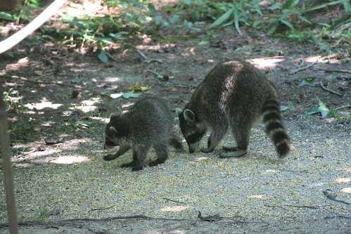 CrabAppleLane raccoons - July 6, 2014
