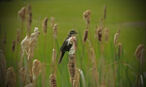 Bird On A Cattail