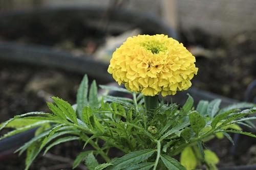 Garden Tour: Marigold