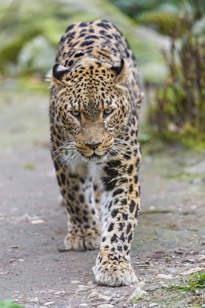Walking Persian leoaprd
