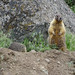Yellow-bellied marmots: standing up by knowneuropean