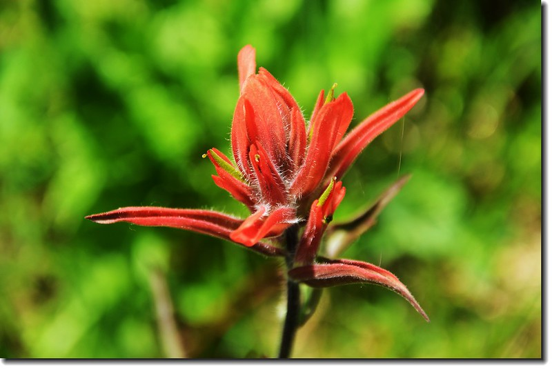 Indian Paintbrush flower 2