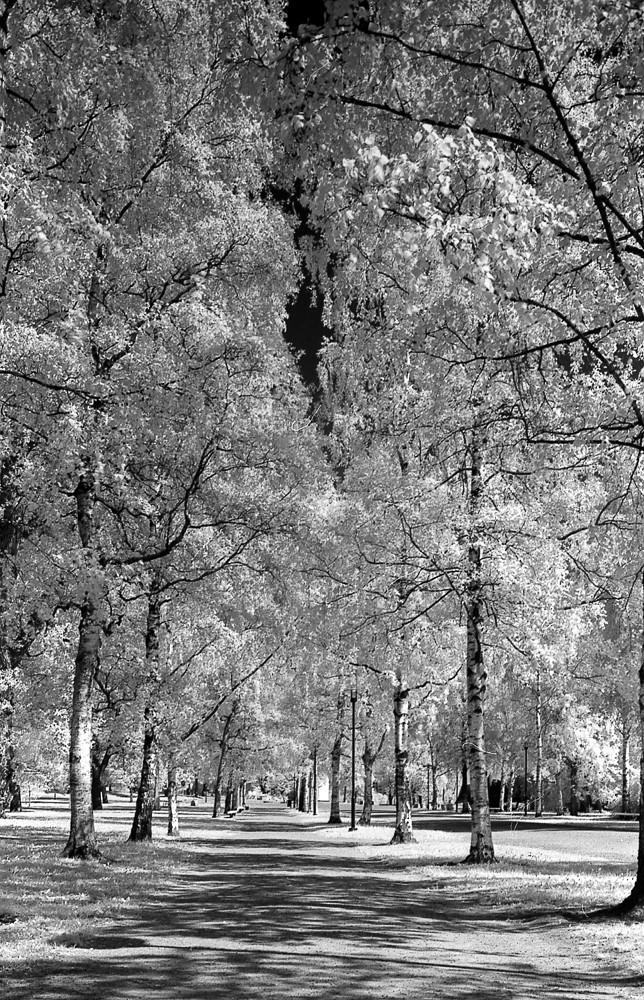 Birches, IR