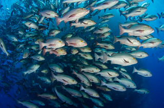 Shoal of snapper in action