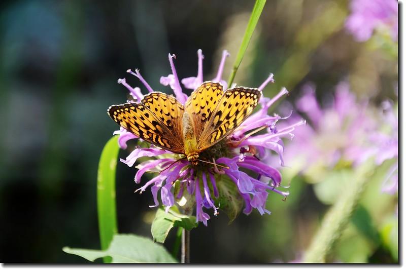 Horsemint & Butterfly