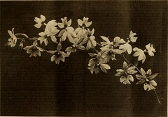 """Image from page 32 of """"Garden and forest; a journal of horticulture, landscape art and forestry"""" (1888)"""