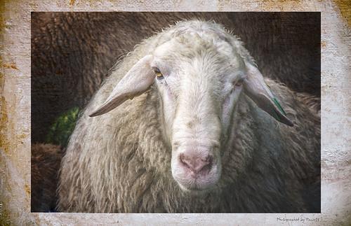 Portrait - Ein Schaf