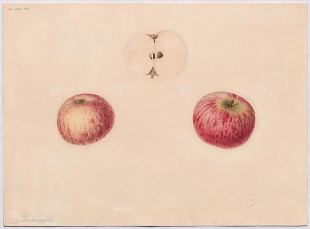 Apfelsorte Luikenapfel