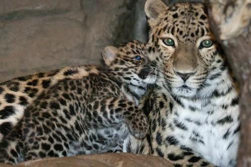 Амурський_леопард