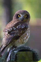 Boobook Owl (Morepork)