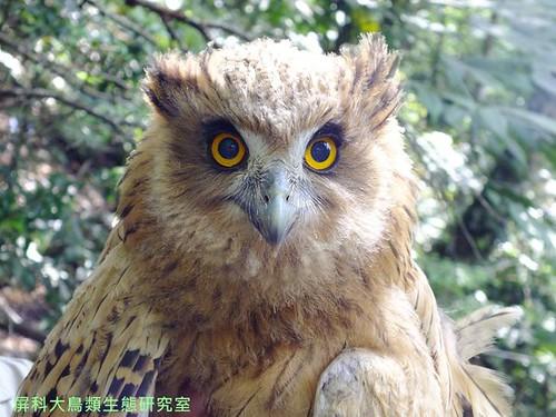 即將離巢的小黃魚鴞。圖片來源:汪辰寧、洪孝宇(屏科大野保所鳥類生態研究室)