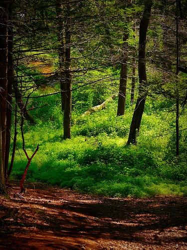 trees green woods woodlands meadow lumixcamera glastonburyconnecticut pjddigipic panasonicdmcg5 addisonbog