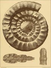 """Image from page 58 of """"Cephalopoden der böhmischen Kreideformation"""" (1872)"""