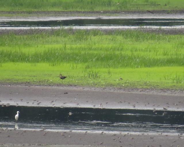 Upland Sandpiper - Bombay Hook NWR, DE - 7/29/14