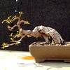 #ficus #salicaria #bonsai wired