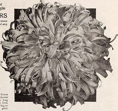 "Image from page 58 of ""Vick's garden & floral guide : spring edition"" (1922)"