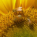 Honey Bees on a Sunflower by Chrissie2003