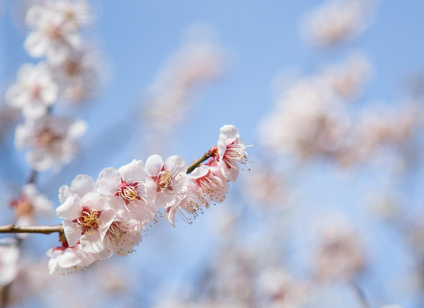 Kitano Tenmangu Plum Flower