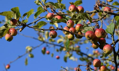 Apple Tree in the Sky