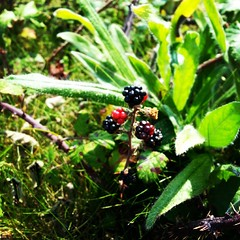 World's smallest blackberry bush