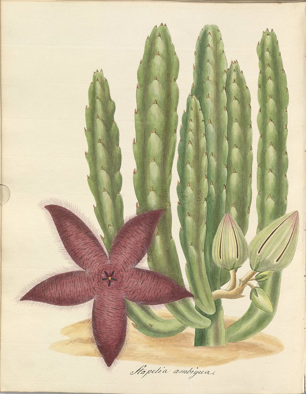 watercolour sketch of Stapelia plant