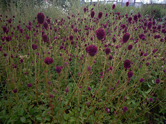 Macplants for Sanguisorba officinalis red thunder
