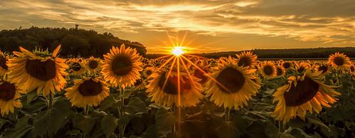 sunset newjersey nj sunflowers flare augusta sussexcounty sunflowermaze sussexcountysunflowermaze