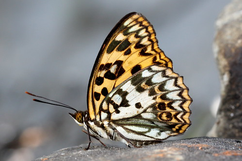 Sephisa daimio (male, Endemic sp. in Taiwan) 臺灣燦蛺蝶 (雄,特有種)