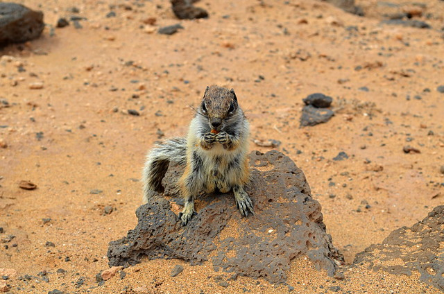 Barbary Ground Squirrel, Fuerteventura