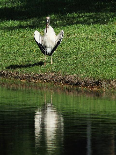 Wood Stork 20140912