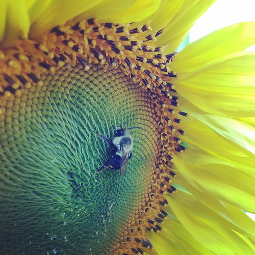 Morning sunflower :)