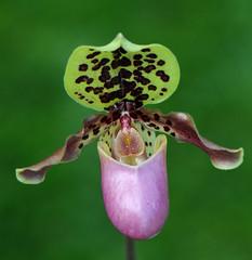 Paphiopedilum hendryanum