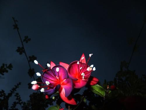 flowers ireland dublin flower nature floral flora fuschia swords dub naturesbeauties naturescreations