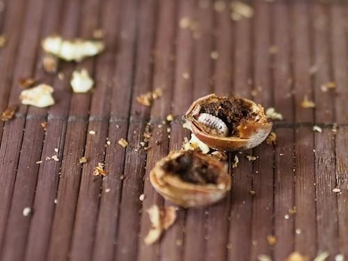 inhabited acorn