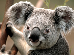 animal, snout, mammal, koala, fauna, close-up, wildlife,
