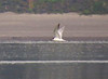 Common Tern 9-29-14 Broughton Beach